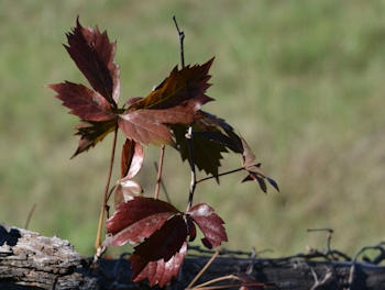 Virginia-Creeper-fall-color0004