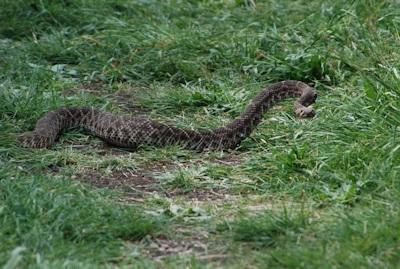 Rattlesnake3-KShull-4-9-15