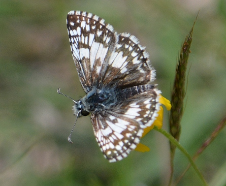 Lg-common-checkered-skipper1213