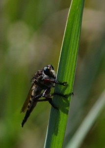 Robber-fly1358