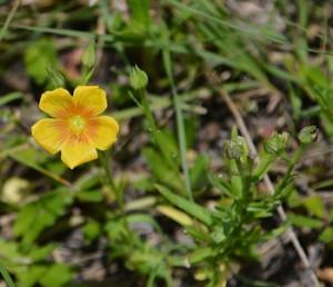 Stiff-stem prairie flax 5-30-15