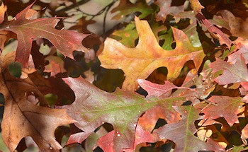 Oak-leaves-closeup-12-07-15