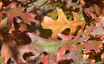 Oak-leaves-closeup-12-07-15