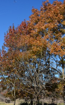 Oak-leaves-orange-tree-red-tree
