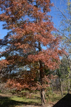 Oak-leaves-tree-red