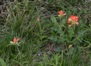 Indian-Paintbrush-3-08-2016