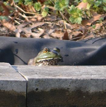 Bullfrog-03-08-2016