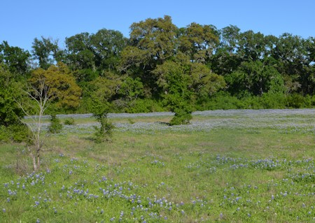Bluebonnets-near-dry-woods