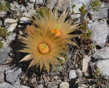 plains-nipple-cactus-flowers-4-11-16