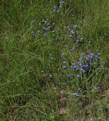 Lg_blue-eyed-grass-near-meadow-4-11-16