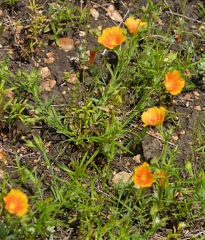 Stiff-stem-prairie-flax-4-18-2016