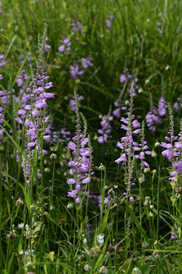 Obedient-plants-old-ditch-05-05-2016