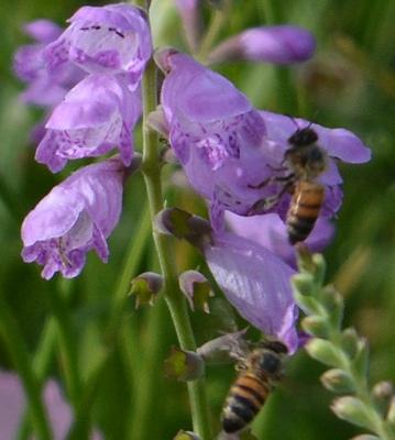 Obedient-plants-bees-05-05-2016