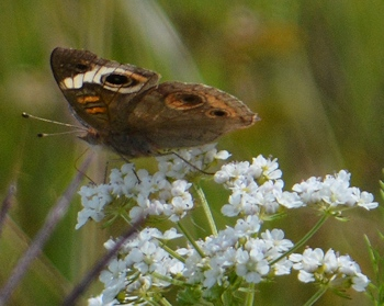 "Common-buckeye-on-Q-anne""s-lace-05-05-2016"