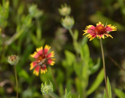 Gaillardia-bud-flower-05-05-2016