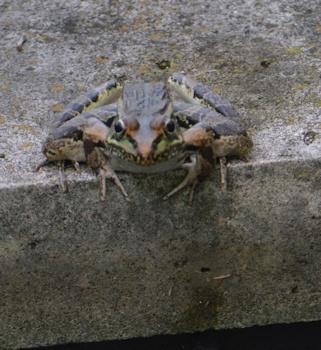 Leopard-frog-pondedge-8-26-16