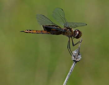 Saddlebags-dragonfly-8-31-16
