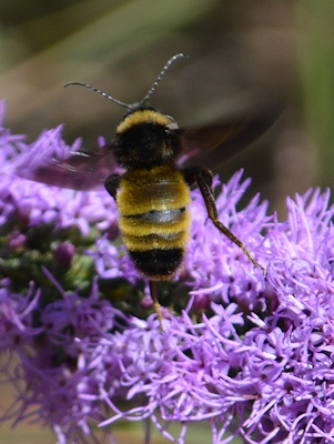 Bumblebee-on-liatris-9-29-16-3078