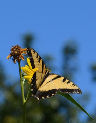 Tiger-Swallowtail-Max-Sunflower-9-29-16
