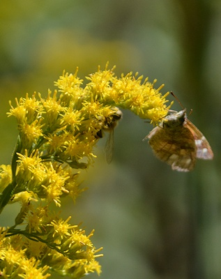 Am-Snout-on-Goldenrod-9-29-16