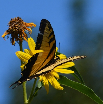 Tiger-Swallowtail-Max-Sunflower2