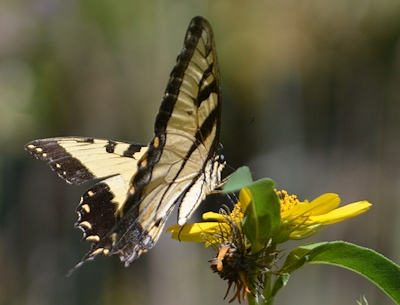 Tiger-Swallowtail-Max-Sunflower-3084