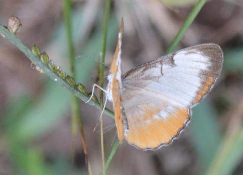 Butterfly--white-orange2-11-14-16