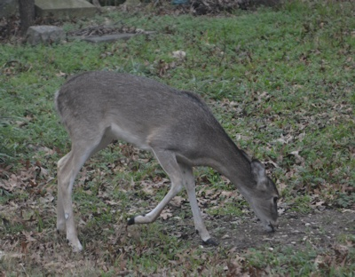 Whitetail-acorns-12-27-16