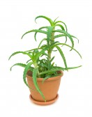 11762863-aloe-in-a-flower-pot-on-white-background