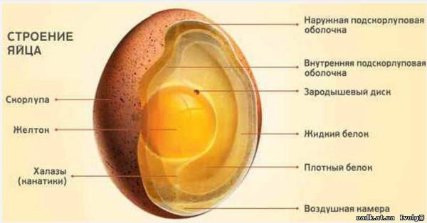 рассказ член готов лопнуть твердый яйца