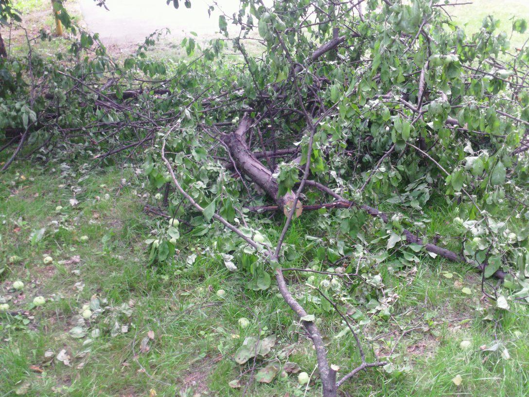 Яблони вырублены 3