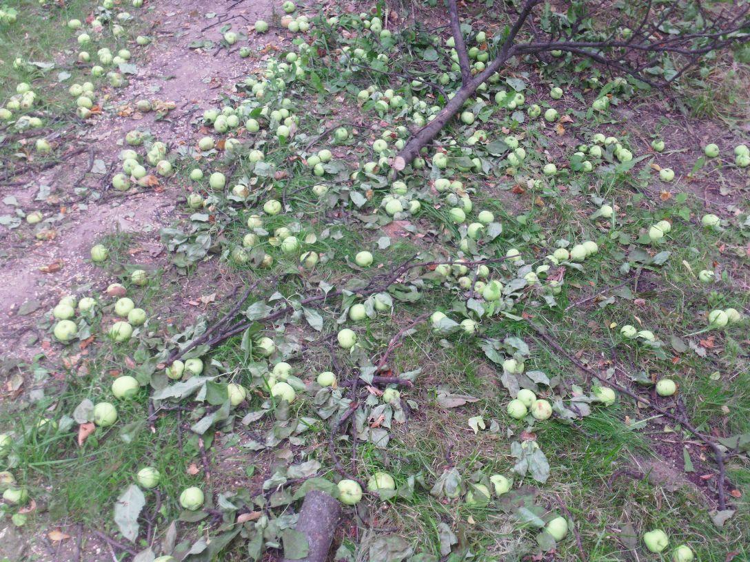 Яблони вырублены 4
