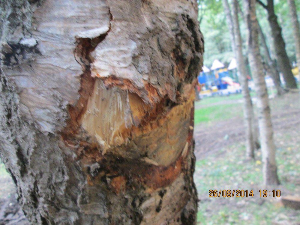 26-08-2014 покалеч деревья 1