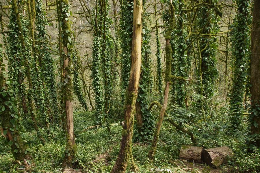 плющ колхидский, опутавший мёртвые стволы самшита
