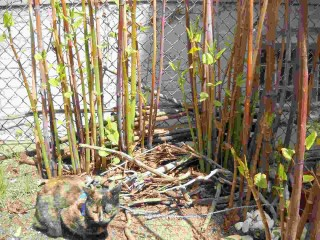 Tortoise Cat, knotweed, rock-garden