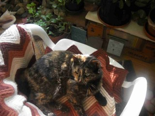 Tortoise Cat wakes up from a longer cat-nap than usual, in her favorite inside chair near the east windows.