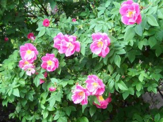 Neighborhood roses, June 2010