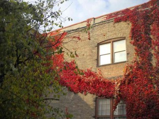 Intense autumnally red ivy on a cream city brick wall with windows reflecting the blue-gray, clouded November sky.