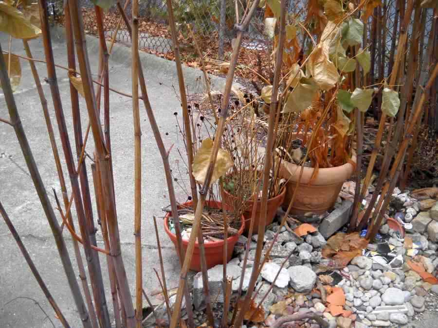 Rock garden, Japanese Knotweed and pots of dried pods near the back steps, on December 3, 2010, the day before the first sticky snow