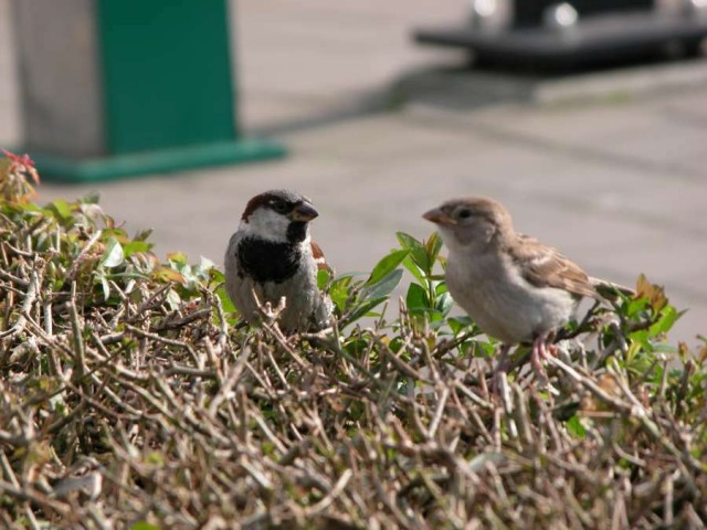 Everyday sparrows, by ImageAfter.com