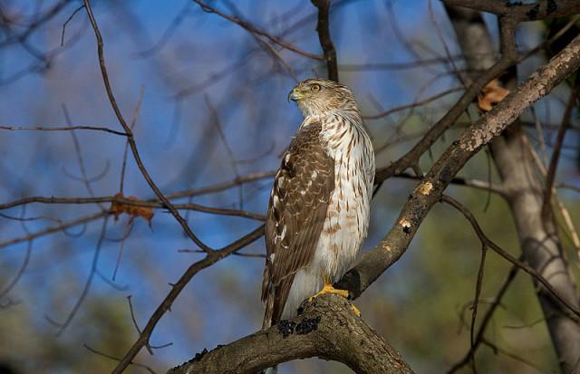 Cooper's Hawk by William H. Majoros via Wikimedia Commons