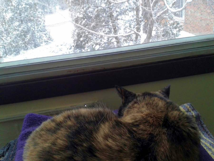 Tortoise Cat Napping in a December Window