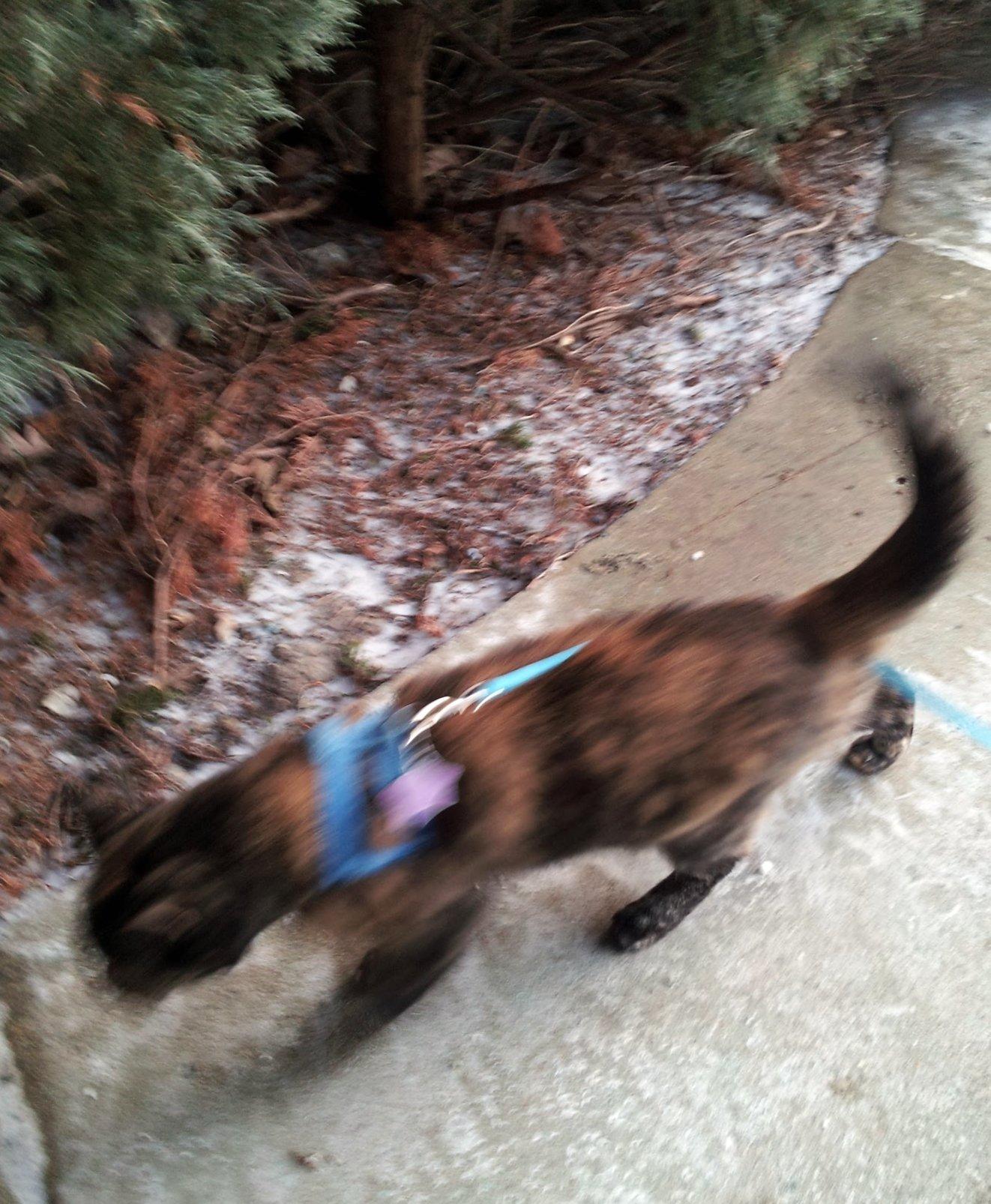 Tortoise Cat Homeward Boung in Snowy Oak-Creek on January 14, 2013