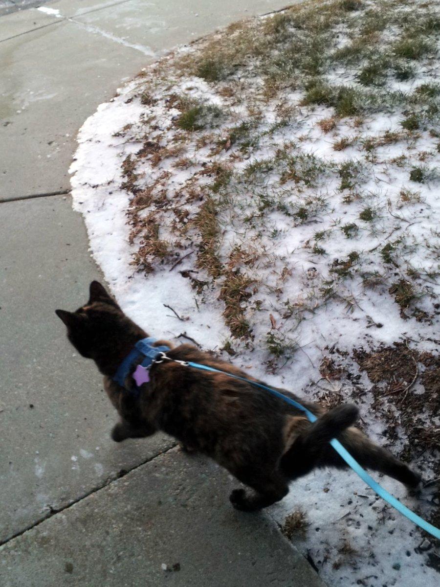 Tortoise Cat in Snowy Oak Creek on January 14, 2013