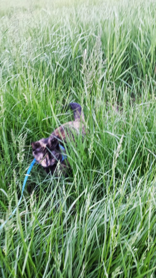 Tortoise-Cat romps in tall grass in Oak-Creek, June 2013.