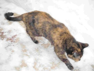 Tortoise Cat explores her backyard snow-drift cage, early February, 2010.