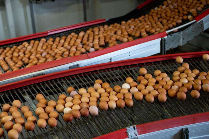 По транспортерам яйца из разных курятников попадают в сортировочный цех.