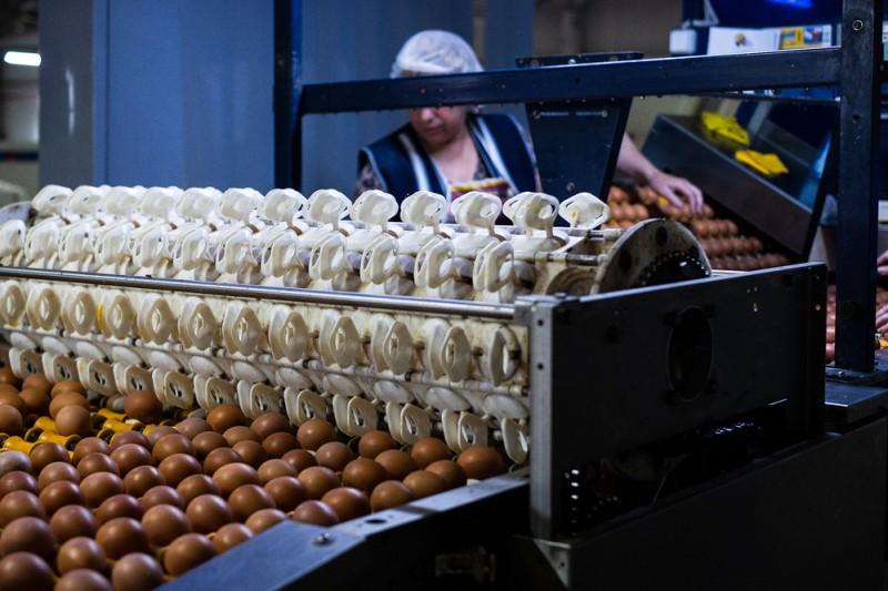 После первичной сортировки яйца равномерно укладываются на ленту.