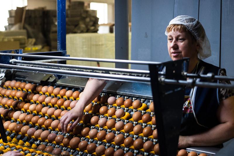 Яйца укладывают между круглыми валиками, чтобы ни одно из них не разбилось на пути в сортировку.