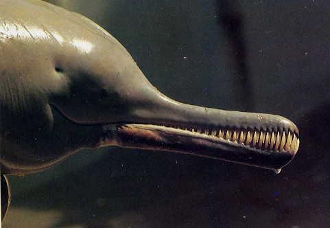 delphinus gangeticus